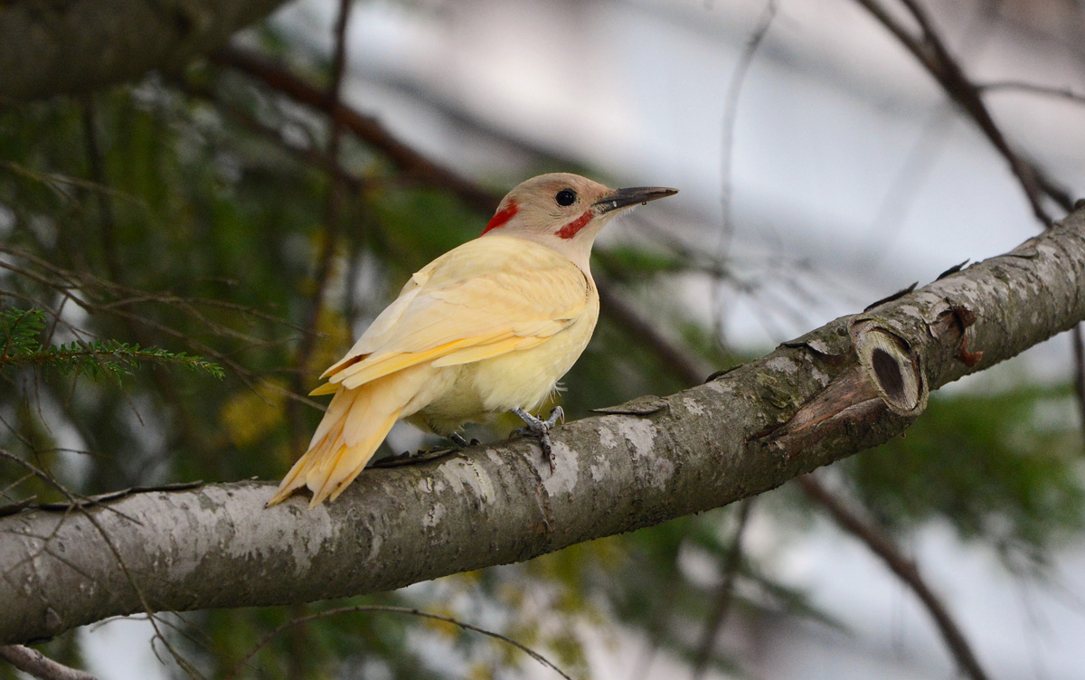 white flickers sibley guides