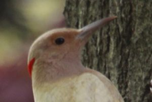 Northern_Flicker_MtAuburn_20120430_JohnHarrison_024_head