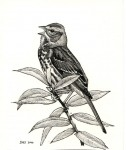 Fox Sparrow, ink on scratchboard, copyright David Sibley