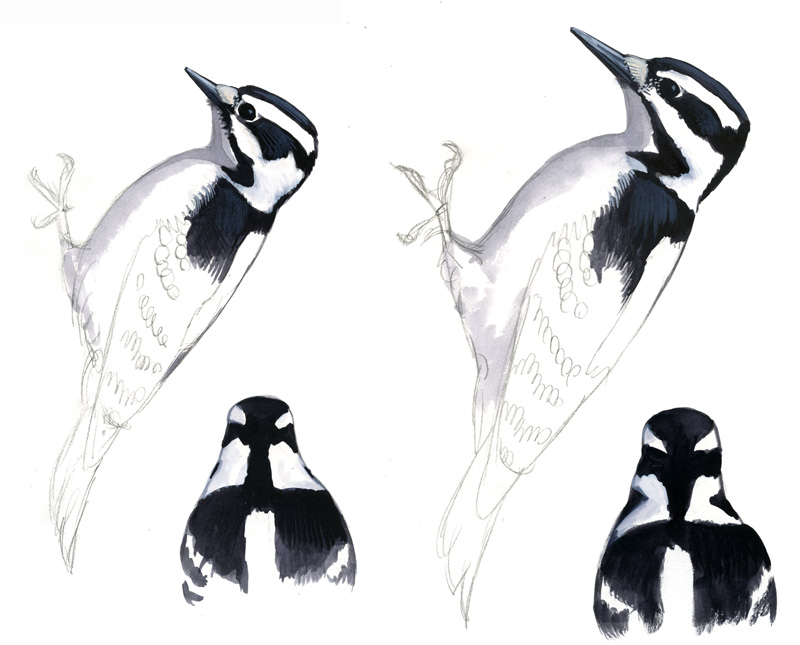 Downy Woodpecker Feathers Downy Woodpecker Left And