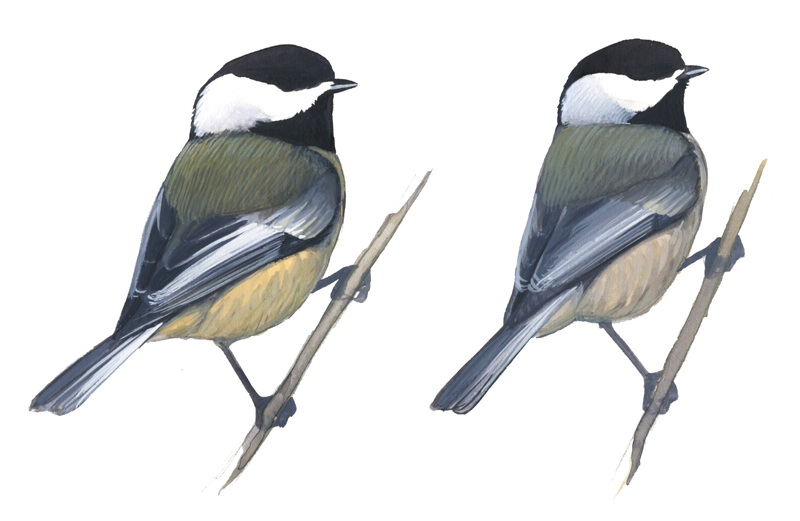 black capped chickadee left and carolina chickadee right note the    Black Capped Chickadee Drawing