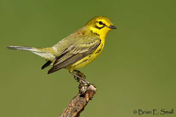 Quiz 31: More warblers by partial cues - Sibley Guides