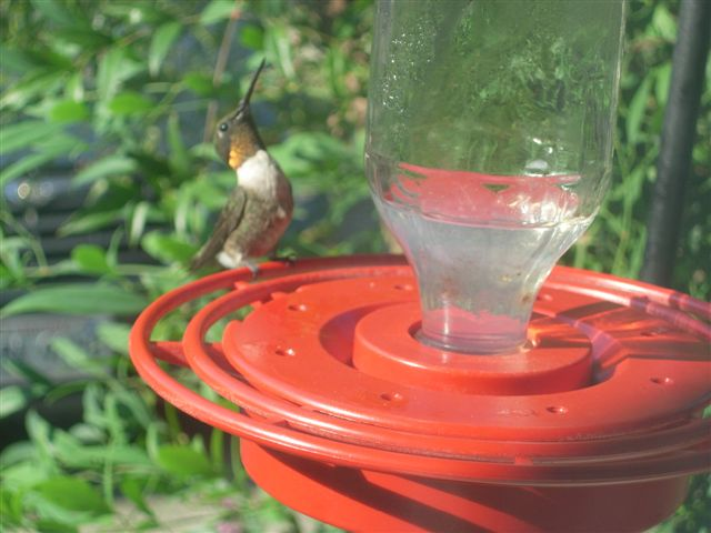 The mystery of the orange-throated hummingbirds - Sibley Guides