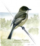 Why do phoebes pump their tails?