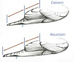 Identification of female bluebirds by wing structure