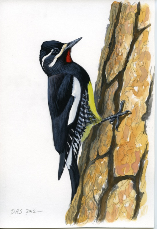 Sphyrapicus_thyroid_male226_inventory