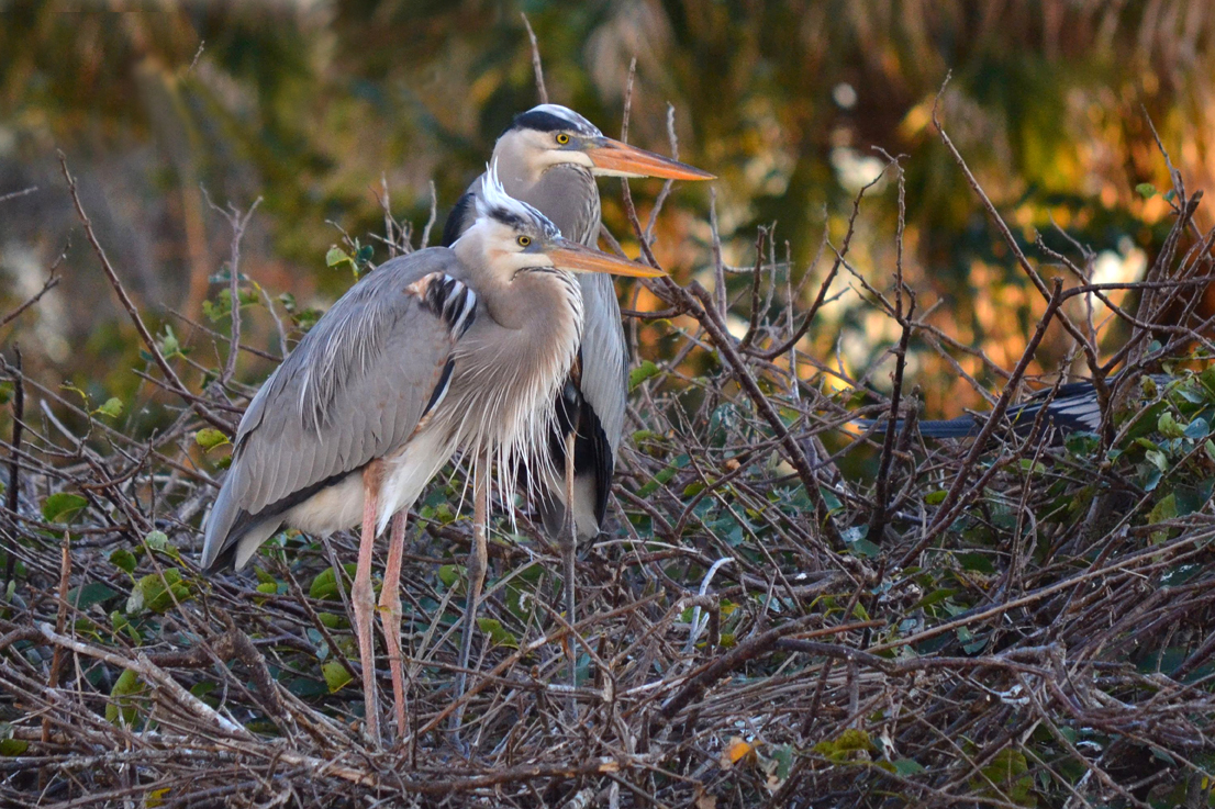 Typical Great Blue Heron Back And Slightly Paler Wurdemanns