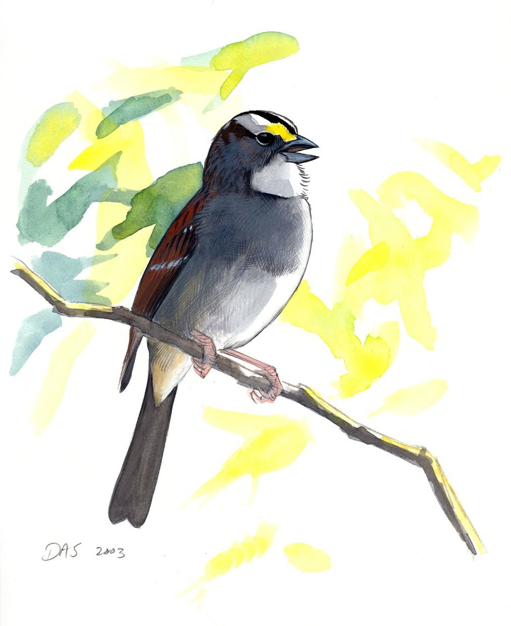 White-throated Sparrow original art - Sibley Guides