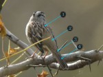 Quiz 40: Feather topography of the upperparts