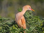 An unusual Cattle Egret in Florida