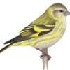 "Variation in Pine Siskins and the so-called ""green morph"""
