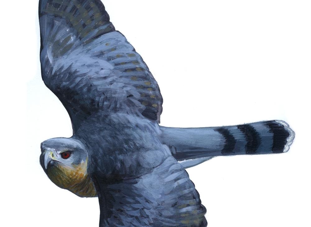 Cooper's Hawk, original acrylic painting copyright David Sibley
