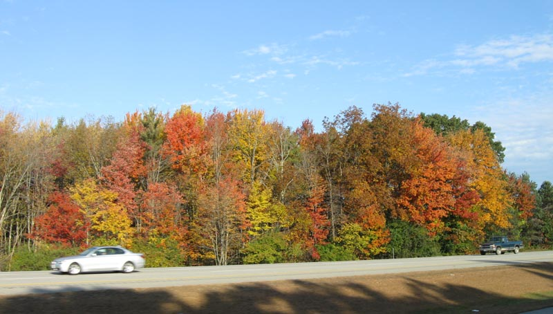 A wild stand of Red Maple, showing the diversity of color typical of this species. October 2009, New Hampshire. Photo copyright David Sibley.