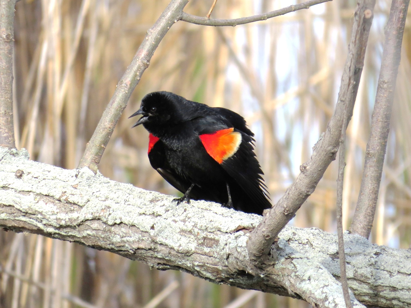 The Red-winged Blackbird from the front, the way this display is intended to be viewed, the intense red of the shoulders is set off against very deep black shadows of the body and underwing.