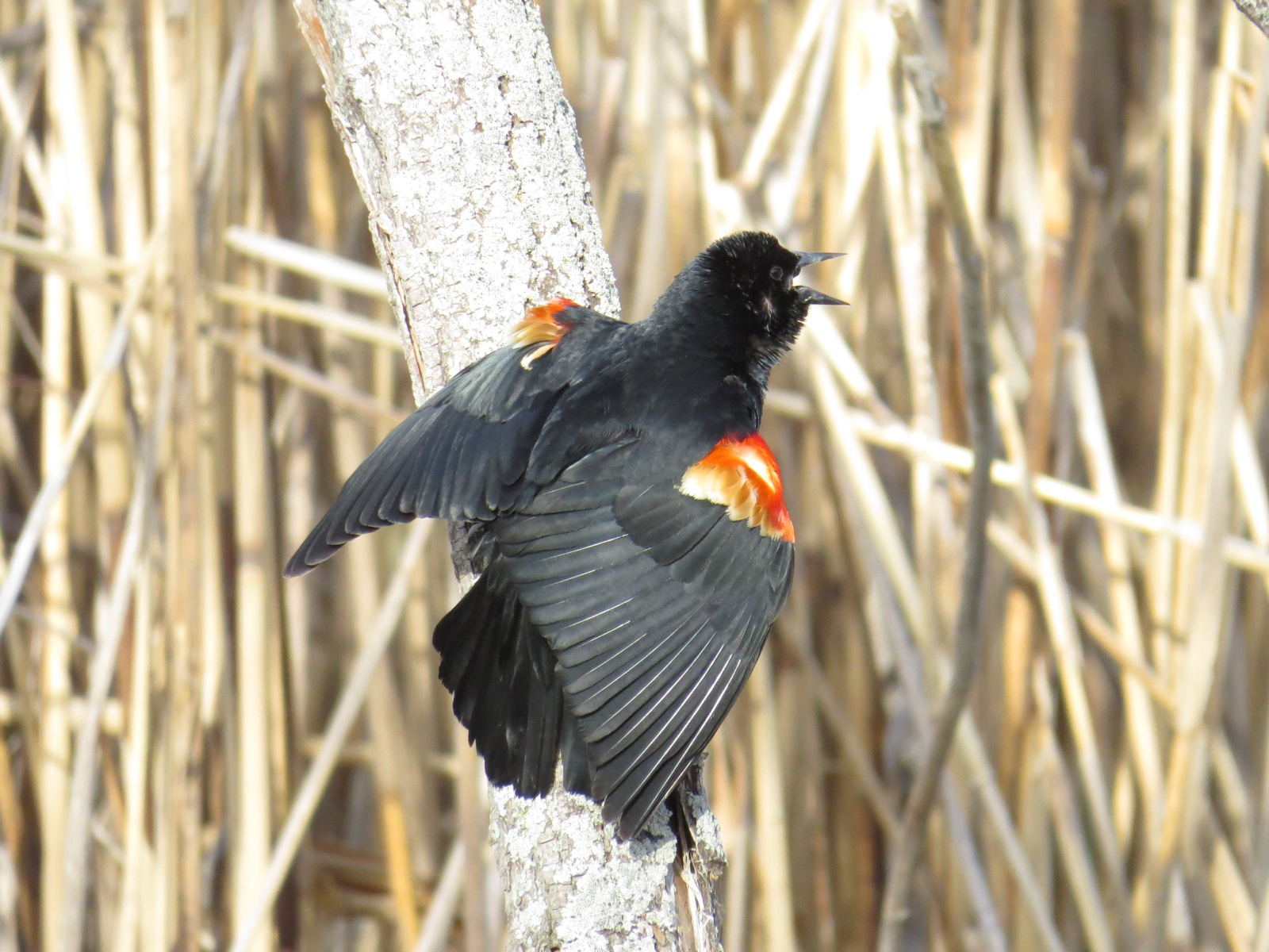 "Male Red-winged Blackbird singing and facing away, so that we see the bright red feathers of the shoulders ""edge-on"" and can see to their whitish base."