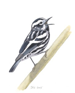 Black-and-white Warbler_20160401_web