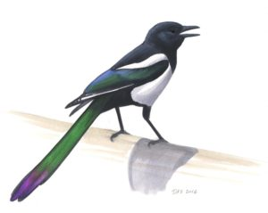 Black-billed Magpie_20160401_web