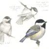 Juvenile chickadees