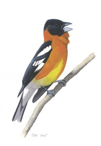 Black-headed Grosbeak_20160401_web