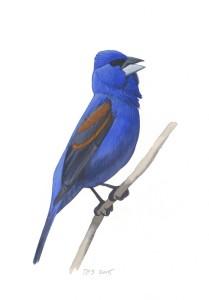 Blue Grosbeak_20160401_web