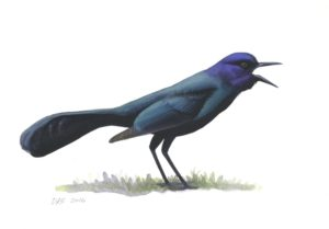 Boat-tailed Grackle_2016040_web
