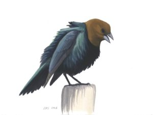 Brown-headed Cowbird_20160401_web