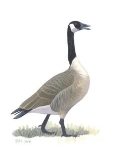 Canada Goose_20160401_web
