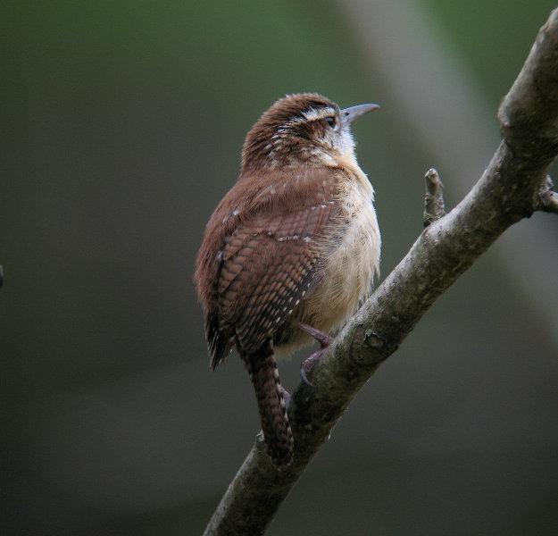 Carolina Wren Mystery Spots Sibley Guides
