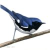 A Cerulean-like song variant of Black-throated Blue Warbler