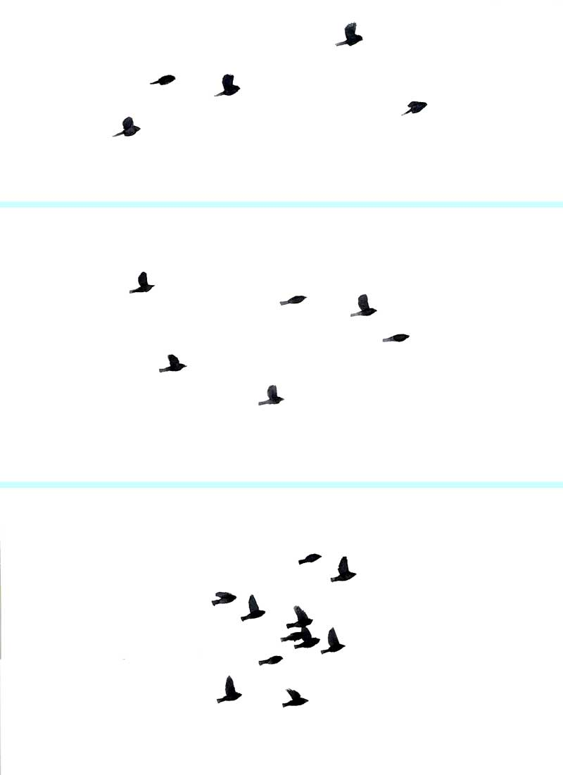 Identifying Songbirds By Flocking Behavior Sibley Guides