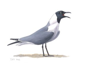 Laughing Gull_20160401_web