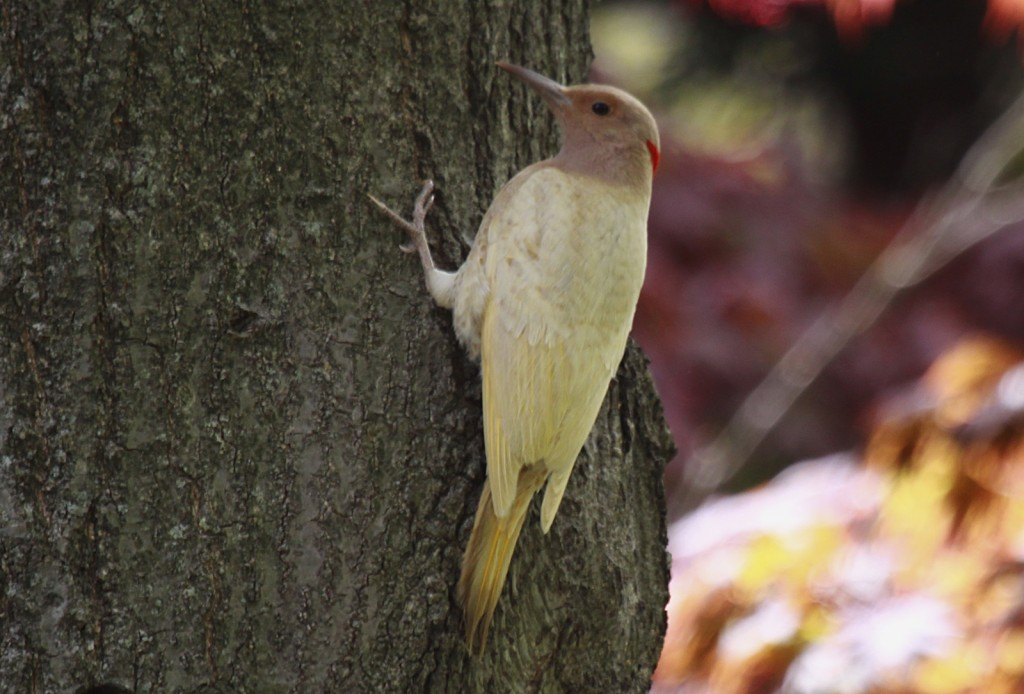 Northern_Flicker_MtAuburn_20120430_JohnHarrison_024