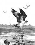 Osprey_print