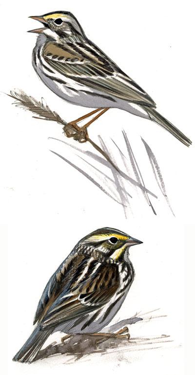 Guides Subspecies Behavior Sparrow By Sibley - Identifying Savannah