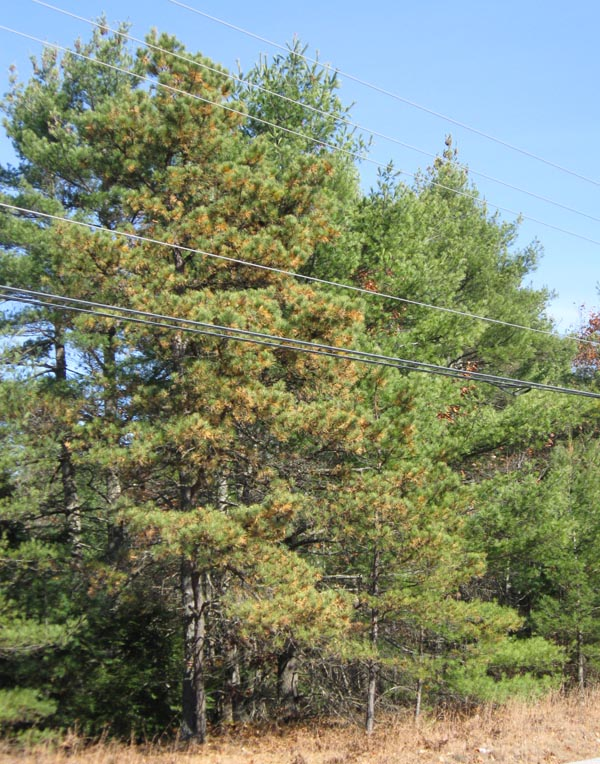 Pitch Pine (left) with Eastern White Pines (right) near Fryeburg, Maine, November 4, 2009. Photo copyright David Sibley.