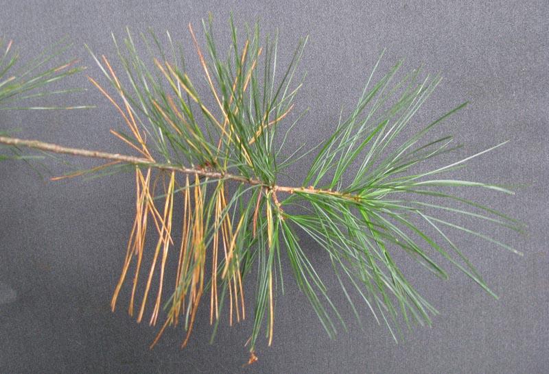 Pinus_strobus_fallcolorConcordMA2
