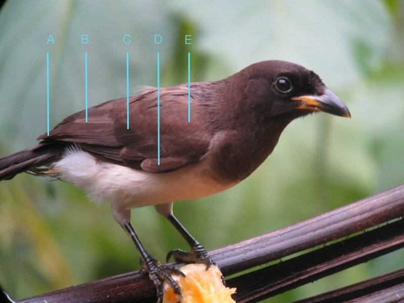 Psilorhinus_morio_Belize_IMG_5662_2014-02-09_quiz_web
