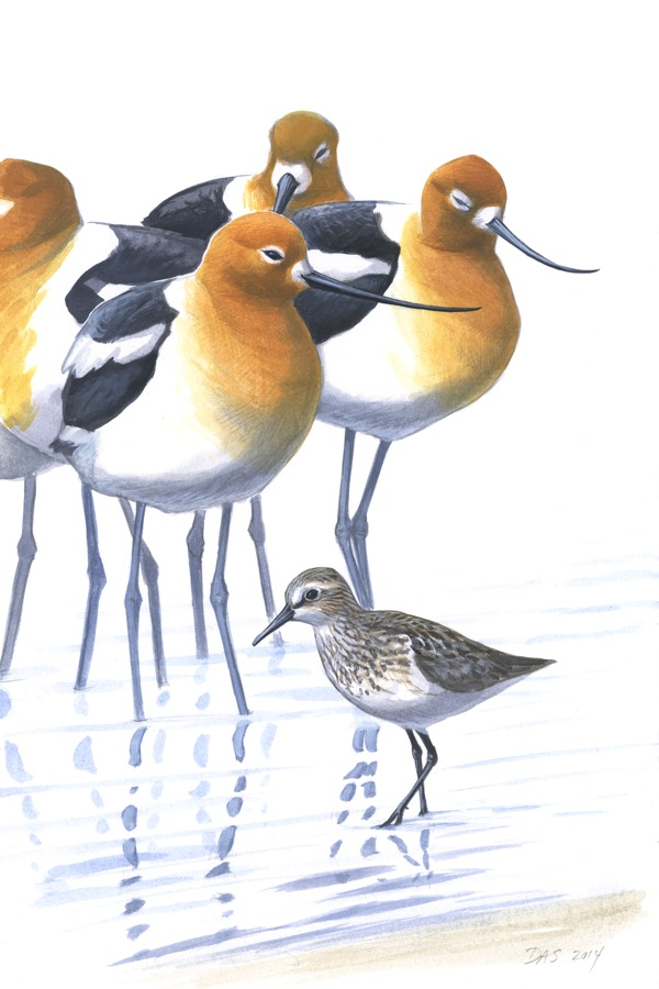 American Avocets with Semipalmated Sandpiper