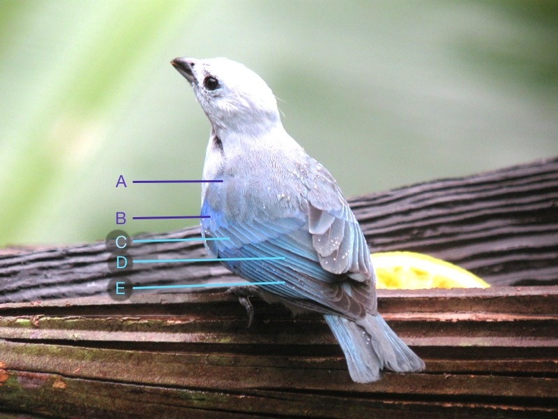 Thraupis_episcopus_Belize_IMG_5785_2014-02-09_2014-02-09_quiz_web