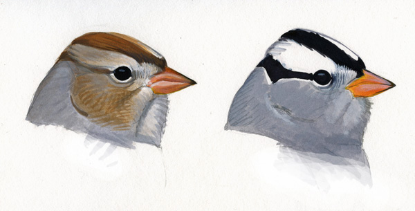 White-crowned Sparrow - Sibley Guides