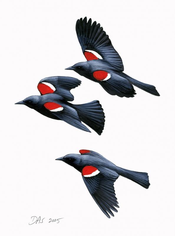 agelaius_tricolor_tricoloredblackbird_clean_thumb